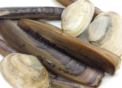 Buy Clams from Fish Co Midlands