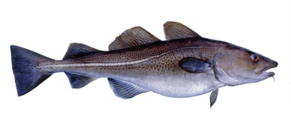Buy Skrei Cod from Fish Co Midlands