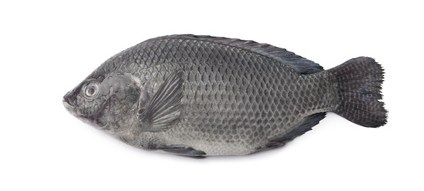 Buy Tilapia from Fish Co Midlands