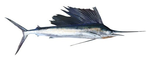 Buy Marlin from Fish Co Midlands