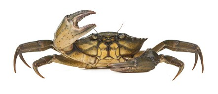 Buy Brown Crab from Fish Co Midlands